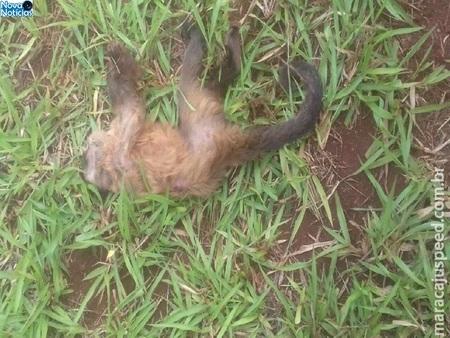 Left or right maracaju macaco encontrado morto em fazenda pode ser possivel caso de febre amarela 1516489469