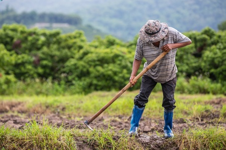 Left or right a male farmer who is using a shovel to dig the soil in his rice fields